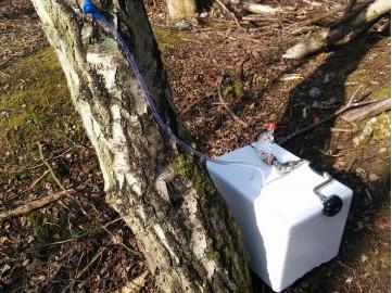 Birch Sap Tapping Kit