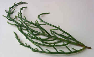 Samphire - Glasswort