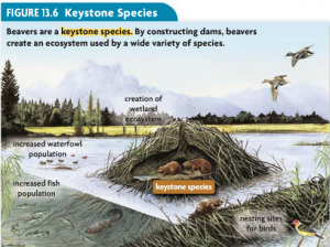 Beavers are keystone species